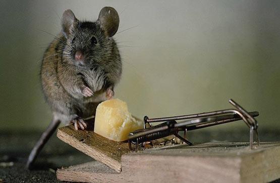 Травля крыс
